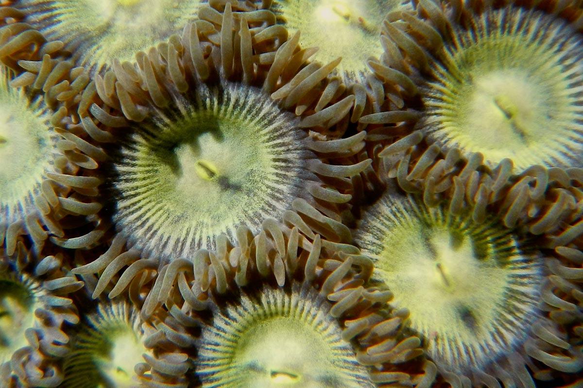<i>Zoanthus</i> sp.
